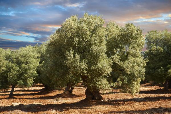 Ancient Cerignola olive trees (Olea europaea), Ostuni, Apulia, Italy, Europe